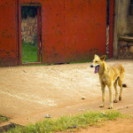 African Guard Dog